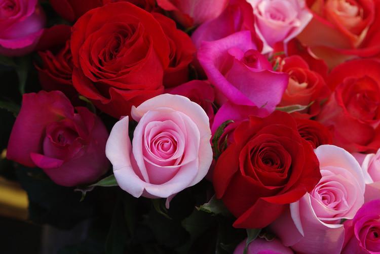 Portraits de roses